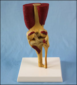 Human Knee Joint Model with Muscles and Ligaments for Medical Teaching pictures & photos