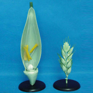 Wheat Flower Anatomic Plant Model for Teaching (R200111) pictures & photos