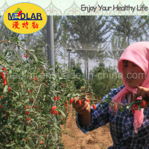 Medlar Weight Loss Health Product Berries pictures & photos