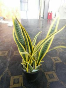 Artificial Plants & Flowers of Sansevieria Green (GU-JF554) pictures & photos