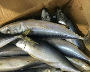 Frozen Pacific Mackerel Fish Whole Round pictures & photos