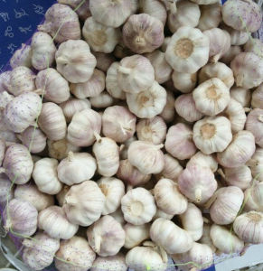 Top Quality of New Crop Fresh White Garlic pictures & photos