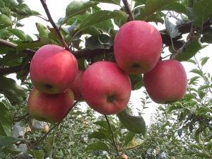 Fresh Qinguan Apple with Better Taste