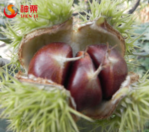 New Crop Organic Fresh Chinese Chestnut Factory Sell