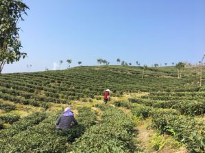 China Tea EU Standard White Penoy Chinese White Tea pictures & photos
