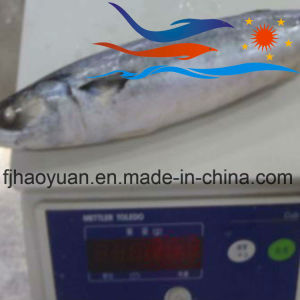 Nice Appearance Frozen Pacific Mackerel (PM014) pictures & photos
