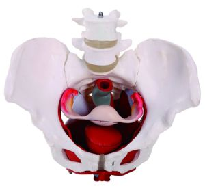Female Pelvis with Pelvic Floor Muscle and Organs