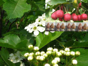 Hawthorn Extract, Vitexin-2-O-Rhamnoside, Rhamnosylvitexin, Crataegus Pinnatifida pictures & photos