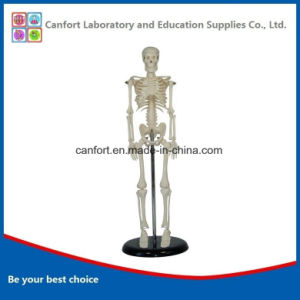 PVC Anatomical Model Human Skeleton Model (42cm) pictures & photos