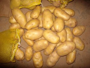 New Crop Fresh Chinese Potato (150G AND UP) pictures & photos
