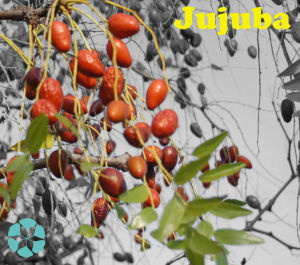 Ziziphus Jujuba Extract / Jujuboside / Saponin pictures & photos