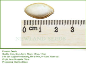 Most Popular and Hot Sale Shine Skin Pumpkin Seeds 10cm-11cm pictures & photos