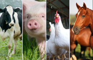 L-Tryptophan Playing a Key Role in Feed Efficiency pictures & photos