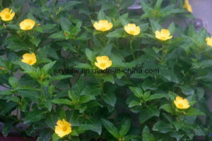 Good for Man and Woman 5: 1 10: 1 Damiana Leaf Extract pictures & photos