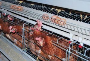 Automatic Broiler Cage in Poultry House with Low Price pictures & photos