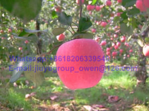 Prompt Shipment Shandong Origin New Crop FUJI Apple pictures & photos