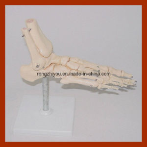 Bones of The Foot Anatomy Model pictures & photos