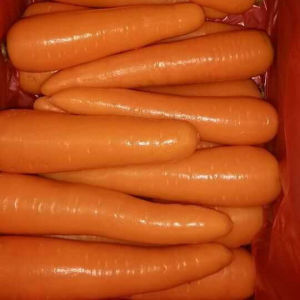 Good Quality of Chinese Fresh Carrot From Factory pictures & photos