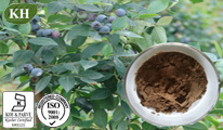 100% Natural Bilberry Leaf Extract: 5: 1; 10: 1, Flavones 10% by UV. pictures & photos