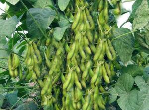 EDDHA-Fe Fertilizer pictures & photos