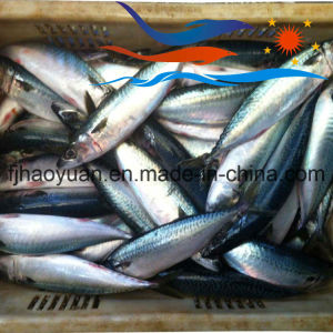 Normal Size Pacific Mackerel in Stock (PM012) pictures & photos