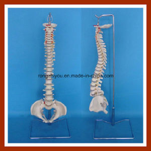 Classic Flexible Spine Model with Female Pelvis Skeleton Model pictures & photos