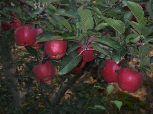 Huaniu Apple - 2