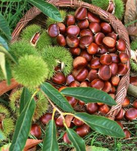 New Crop High Quality Fresh Chestnut pictures & photos