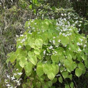 Icariin Powder/ Epimedium Extract with Best Quanlity pictures & photos