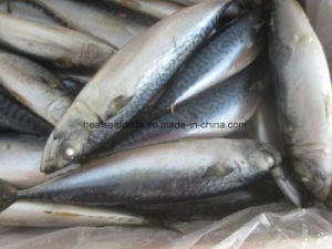 150-200g Frozen Pacific Mackerel Fish Price pictures & photos