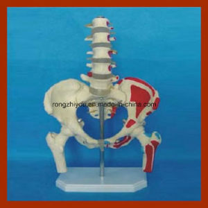 Pelvis and Five Lumbar with Femur Medical Model Educational Equipment pictures & photos