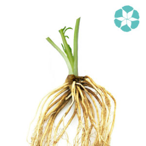 Valerian Extract / Valerian Officinalis Extract / Valerianic Acid pictures & photos