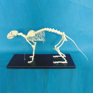 The Cat Skeleton Anatomic Model pictures & photos
