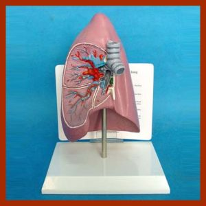 Plastic Human Anatomical Lung Model pictures & photos
