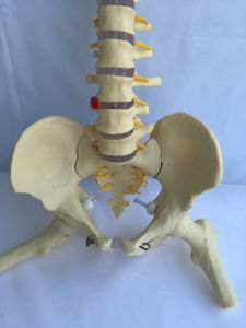 Lab Supplies Human Spine Femur Medical Anatomy Skeleton Model (R020711) pictures & photos