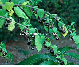 Natural Belladonna Extract 0.7% 1% Hyoscyamine pictures & photos