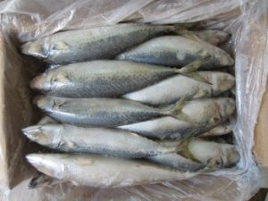 300-500g Landfrozen Mackerel Fish Price pictures & photos