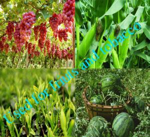 Agricultre Grade Sop White Granule Potassium Sulphate pictures & photos