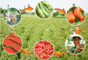 2015 Good Health Food, Ningxia Bulk Goji Berry