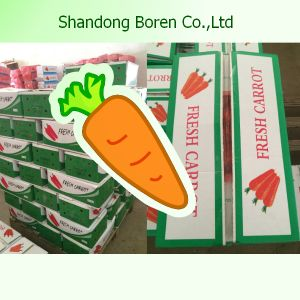 Export New Crop Carrot to Other Countries