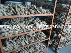 Whole Air Dry Ginger From Shandong pictures & photos