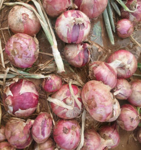 New Crop Fresh Red Onion (5-7cm) pictures & photos