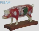 Pig Acupuncture Model pictures & photos