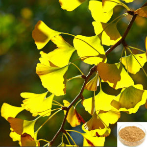 Ginkgo Biloba Extract Powder, Total Flavone Glycosides 22%-27% pictures & photos