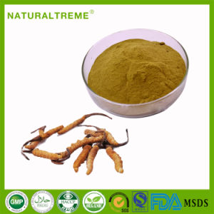 GMP Factory Price Herbal Cordyceps Fungus Extract