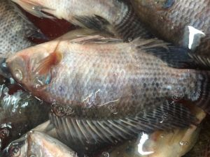 Whole Round Tilapia with Prefect Fresh pictures & photos