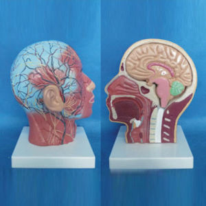 Human Facial Shallow Muscle Nerve Vascular Medical Anatomy Model (R050127)