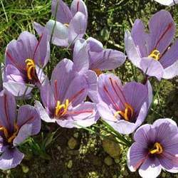 Saffron Extract for Weight Loss, Guarantee 100% Ture Tibet Saffron Raw Materials