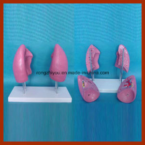 Factory Directly Supplied Human Lung Biology Model (4 PCS) pictures & photos