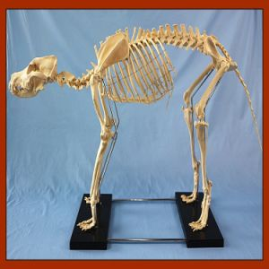 R190126 Hot Sale Canine Big Dog Skeleton Model pictures & photos